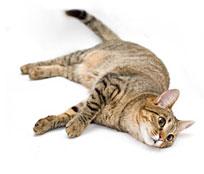 Lysine Cat
