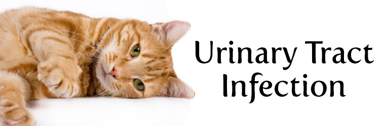flutd feline lower urinary tract disease cat renal and