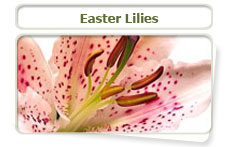Easter Lilies can be harmful to pets